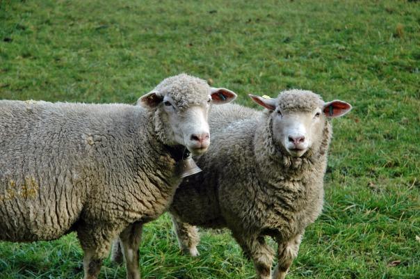 sheep-1042916_1920
